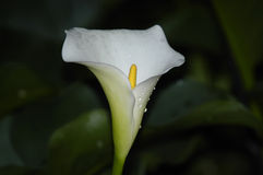 An arum Lily, Zantedeschia aethiopica, endemic to Southern Afri Stock Images