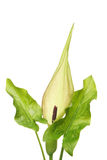 Arum Maculatum Royalty Free Stock Images