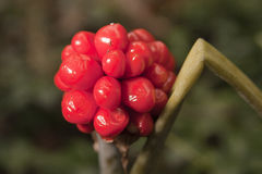 Arum maculatum berries Stock Photography