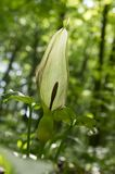 Arum maculatum snakehead flower in bloom. Growing in the forest in sunlight Stock Photography