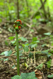 An Arum maculatum (snakeshead) plant bearing fruits Stock Photography
