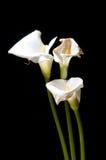 arums νεκρά τρία Στοκ εικόνες με δικαίωμα ελεύθερης χρήσης