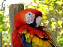 Arums de perroquet d'ara Photographie stock libre de droits