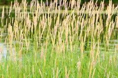 Arundinacea de Phalaris d'alpiste Photo stock