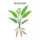 Arundinacea indien occidental de Maranta de marante arundinacée, ou usine d'obéissance, araru, ararao illustration de vecteur