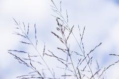 Arundinacea Karl Foerster do Molinia Foto de Stock