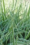 arundinacea Phalaroides Садовник-подвязок стоковые фотографии rf