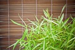 Arundinacea Willd de Bambusa et fond en bambou Photographie stock