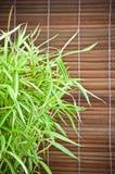 Arundinacea Willd de Bambusa et fond en bambou Image stock