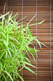Arundinacea Willd del Bambusa e priorità bassa di bambù Immagine Stock
