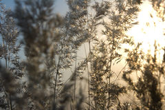 arundinaceacalamagrostissolnedgång royaltyfri bild