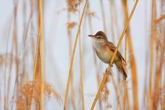 极大的芦苇鸣鸟(尖头畸型arundinaceus) 库存图片