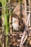 Arundinaceus för Acrocephalus för stor Reed Warbler fågel sjungande Royaltyfria Bilder