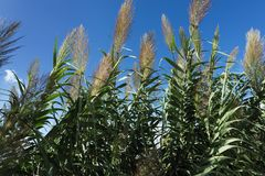 Arundo donax giant cane. On the island of Malta stock images