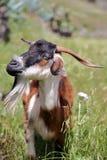 ARURE,戈梅拉岛,西班牙:在Arure附近的五颜六色的山羊 库存照片
