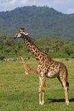 arusha giraffmasai np tanzania Arkivfoton