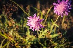 Arvénsis för Knà ¡ utia, en perenn härlig växt, en angenäm rosa färg-lila skugga royaltyfri fotografi