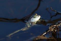 Arvalis Раны Лягушка близкая вверх в воде Стоковое фото RF