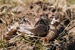arvalis żaba cumuje rana zdjęcia royalty free