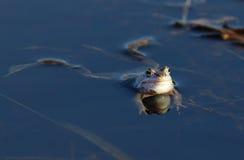 Arvalis de Rana Grenouille se reposant sur l'eau Photographie stock libre de droits