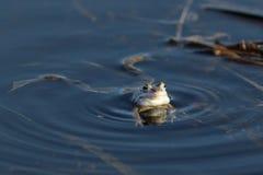 Arvalis de Rana La grenouille nage dans l'eau Photographie stock libre de droits