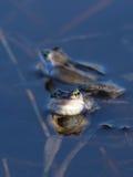 Arvalis del Rana Una razza della rana in acqua Immagine Stock