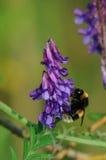 Arveja y abejorro Fotografía de archivo