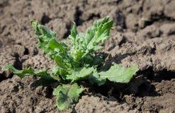 arvense φυτό cirsium Στοκ Φωτογραφία