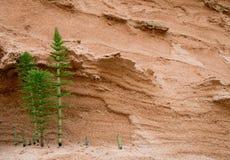 木贼属植物arvense 免版税库存照片