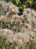 Arvense del Cirsium de la planta del campo en verano tardío Imágenes de archivo libres de regalías