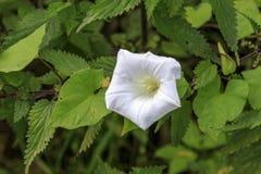 Arvensis повилики вьюнка белый цветок Стоковое Изображение RF