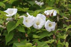 Arvensis повилики вьюнка белый цветок Стоковые Фотографии RF