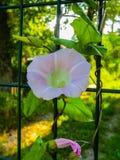 Arvensis bonito branco do convólvulo, flor da trepadeira em um fundo da grama verde fotografia de stock