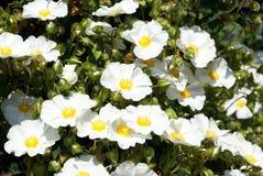 Arvensis de Rosa Multiflora de Rosa Imagens de Stock Royalty Free