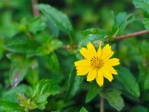 Arvensis del Calendula o flor de la maravilla de campo foto de archivo