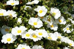 Arvensis di Rosa Multiflora di Rosa Immagini Stock Libere da Diritti