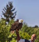 更加温驯白头鹰和男性的鸟 库存图片