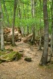 Arvoredo da floresta Imagens de Stock