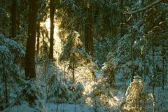 Arvoredo de uma floresta do inverno Imagem de Stock