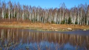 Arvoredo do vidoeiro na mola As ?rvores crescem perto de uma lagoa da floresta detalhes vídeos de arquivo