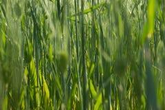 Arvoredos altos da grama na mola Fotografia de Stock Royalty Free
