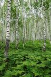 Arvoredos da samambaia em uma floresta do vidoeiro Foto de Stock Royalty Free