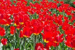 Arvoredos das tulipas Fotos de Stock Royalty Free