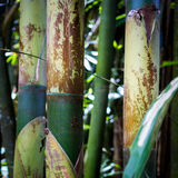 Arvoredos de bambu verdes fotos de stock
