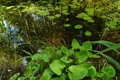 Arvoredos de lírios de água no verão em um rio da floresta Fotos de Stock Royalty Free