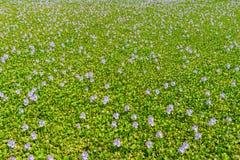 Arvoredos do jacinto de água Fotos de Stock Royalty Free