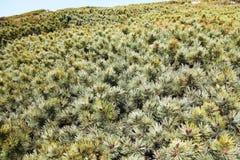 Arvoredos do pinho ou do cedro do rastejamento na costa do mar de Okhotsk Fotografia de Stock Royalty Free