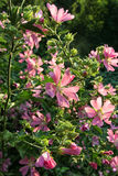 Arvoredos luxúrias do fim cor-de-rosa da malva rosa do alcea acima Foto de Stock Royalty Free