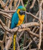 ary błękitny złocista papuga Zdjęcie Royalty Free