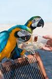 Ary papuga Zdjęcie Royalty Free